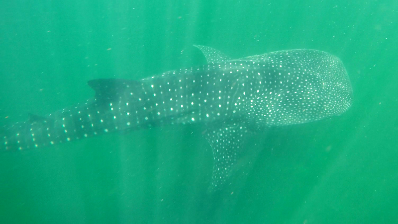 Whale shark at Playa Nicuesa Rainforest Lodge in Costa Rica