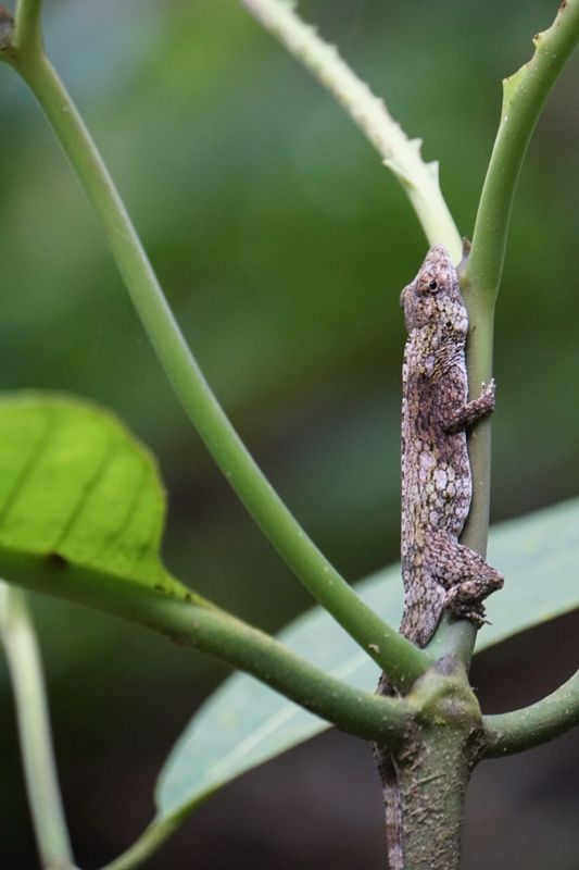 Anolis-pentaprion at Veragua Rainforest, photo by Harvard University