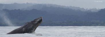 Nicuesa Lodge welcomes whale watching in Costa Rica