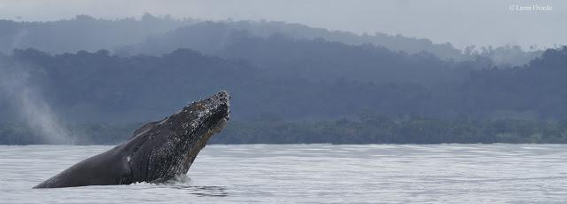 Nicuesa Lodge welcomes whale watching in Costa Rica