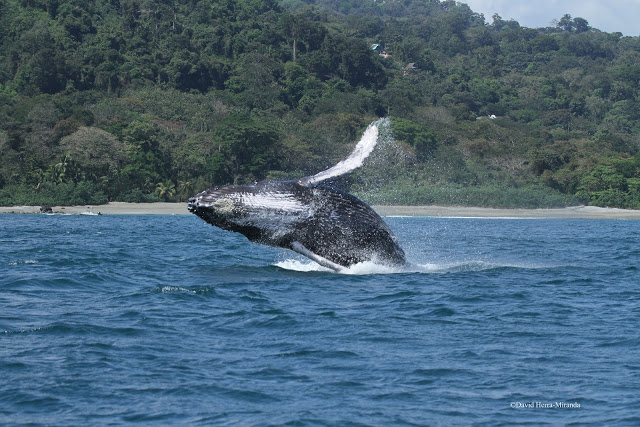 Humpback Whale breaching in Golfo Dulce, photo by CEIC