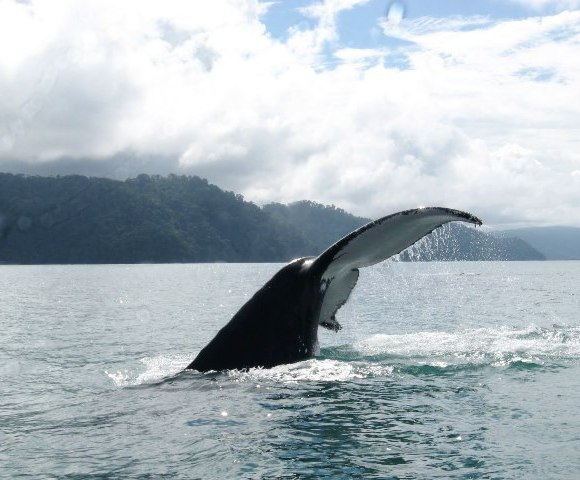 Humpback whale tail in Golfo Dulce, Costa Rica, photo by CEIC