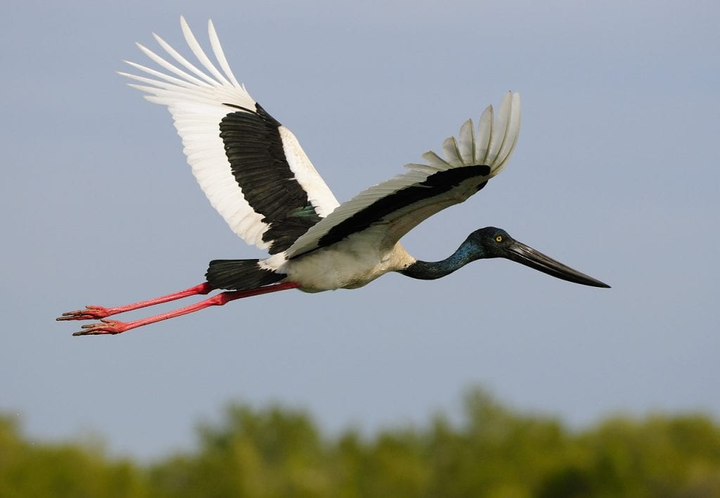 Jabiru in Flight