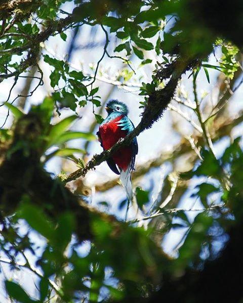 Quetzal in Monteverde Area