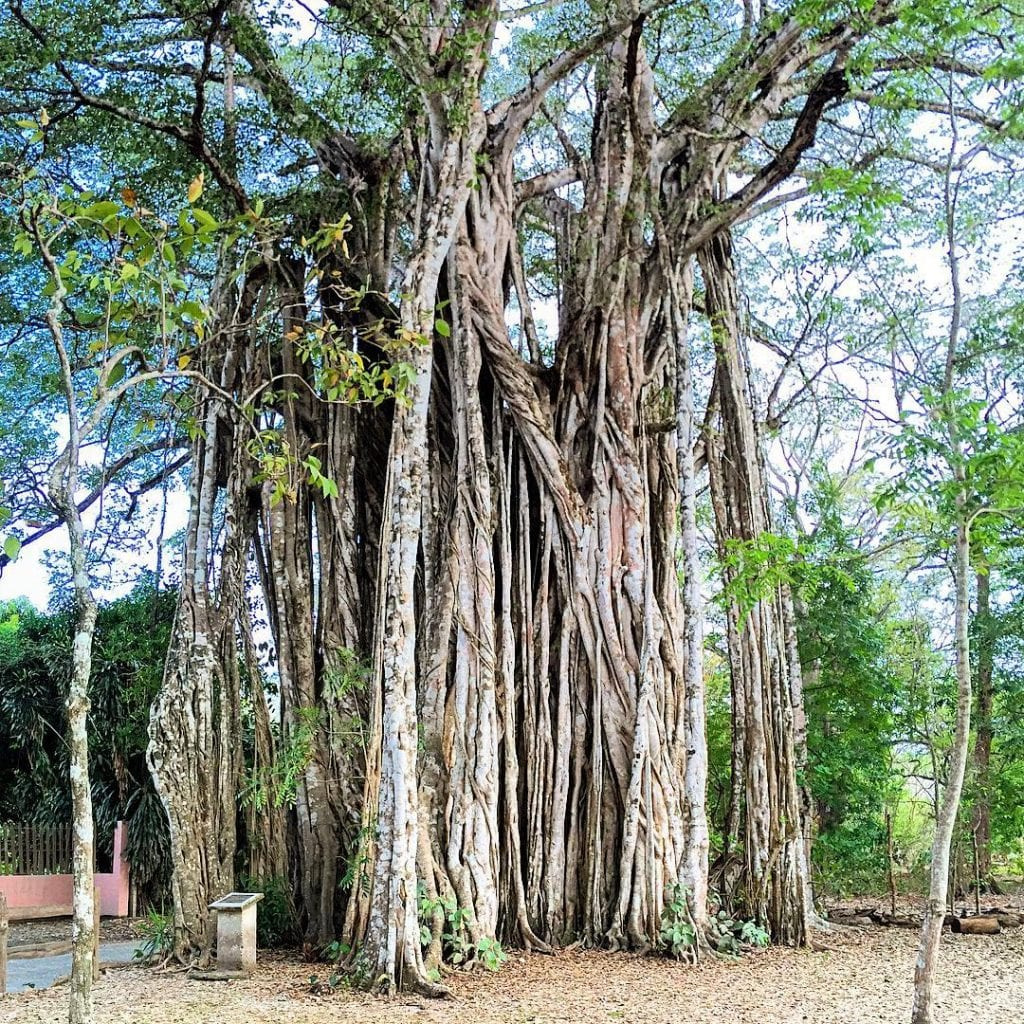 Higueron's impressive root formations create enormous trunk, photo credit bossertartstudio