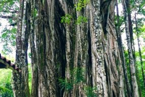 Visit the famous Banyan Tree during your stay at Pranamar Villas