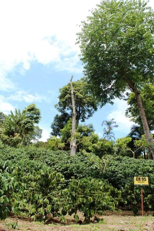CoopeAtenas coffee plantation in Atenas Costa Rica