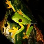 Red eyed Tree Frog at Veragua Rainforest