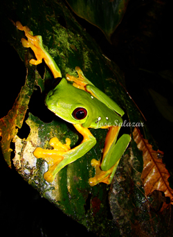 Possibly the Best Costa Rica Rainforest Night Walk Tour Ever
