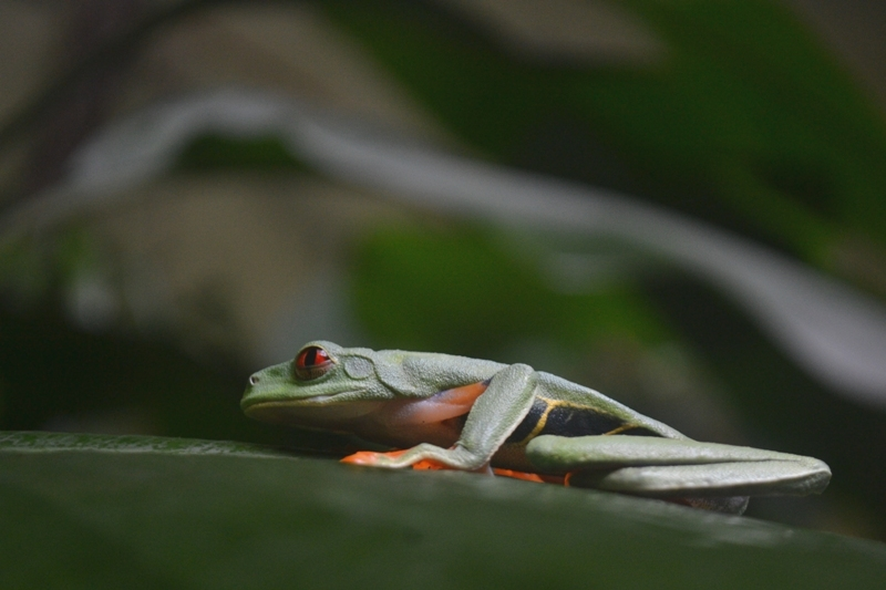 Red-eyed tree frog at Veragua Rainforest in Costa Rica