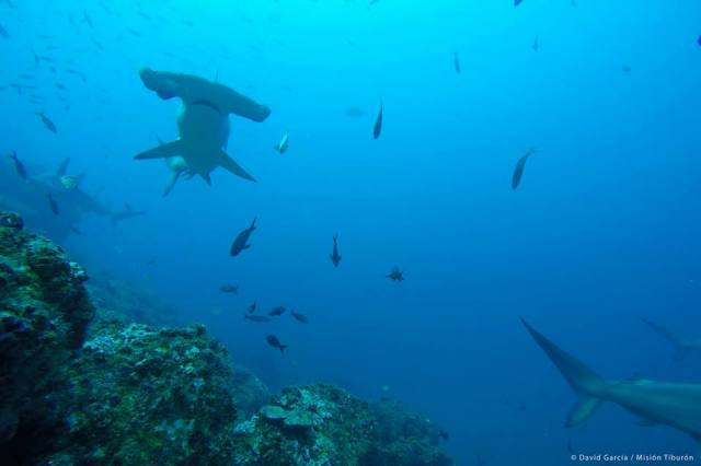 Hammerhead shark in Costa Rica, photo by David Garcia