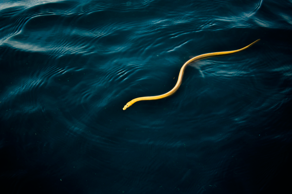 Sea snake in Golfo Dulce, Costa Rica