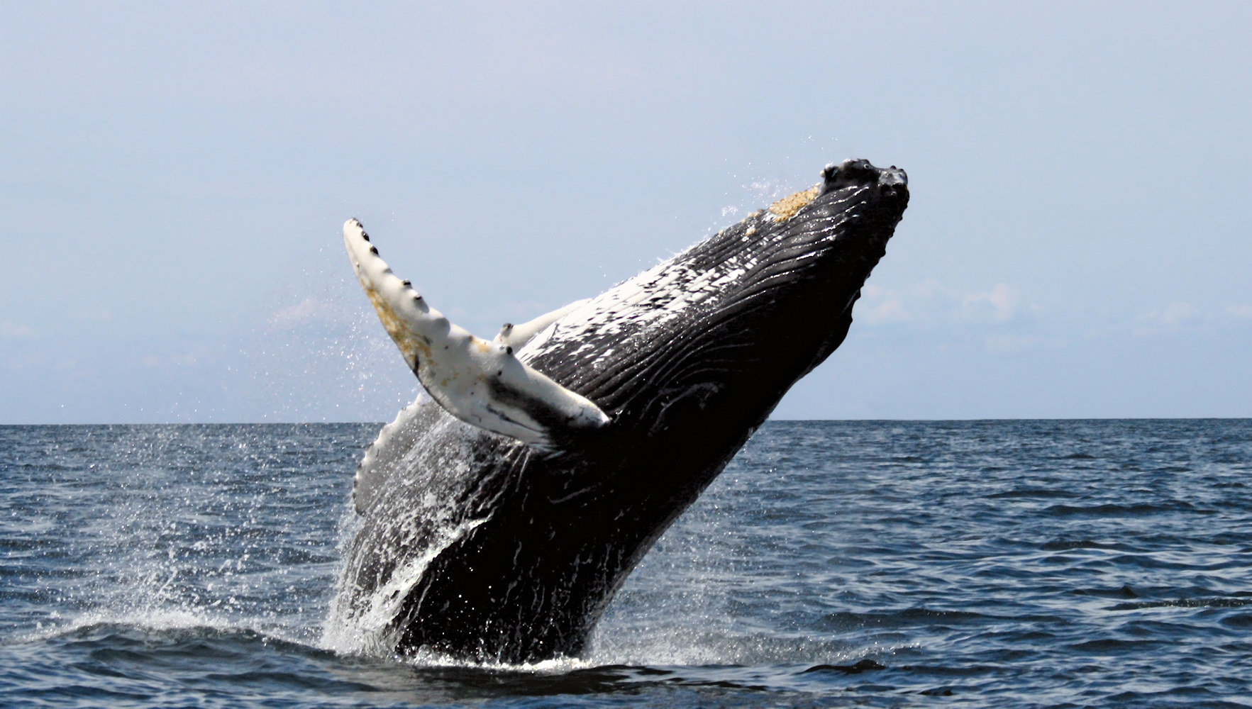 Humpback Whale leaping out of the water, Photo Credit Wikipedia.
