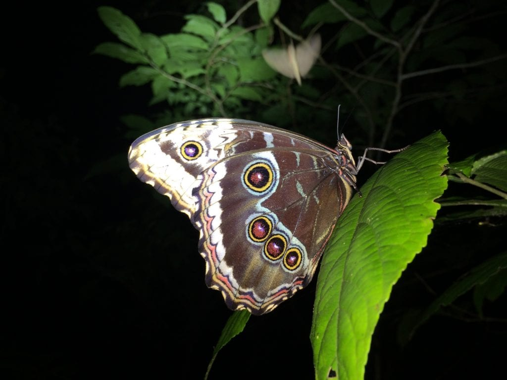 Sleeping Morpho Butterfly observed during Night Walk at El Establo Mountain Hotel.