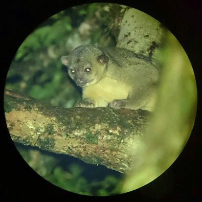 Martin the Kinkajou, photo credit Rony Castro, naturalist guide.