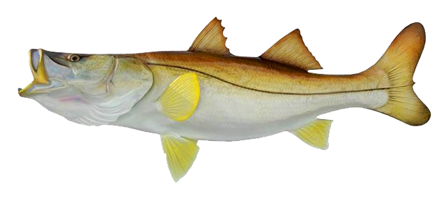 snook-fish-image-courtesy-of-central-american-fishing