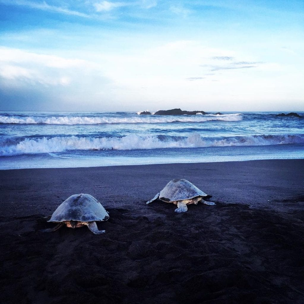 Turtles in Ostional beach, photo credit yogabylauralucy