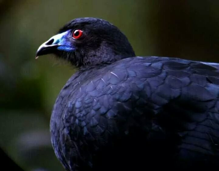 Black Guan at Monteverde, Costa Rica, photo courtesy of Rony Castro, naturalist guide at El Establo Mountain Hotel.
