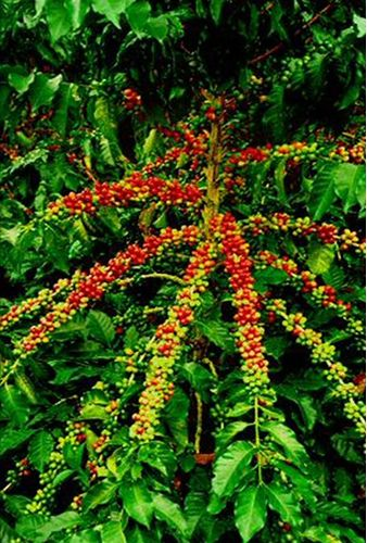 coffee-christmas-tree-costa-rica