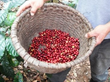 Christmas means coffee season in Atenas, Costa Rica!