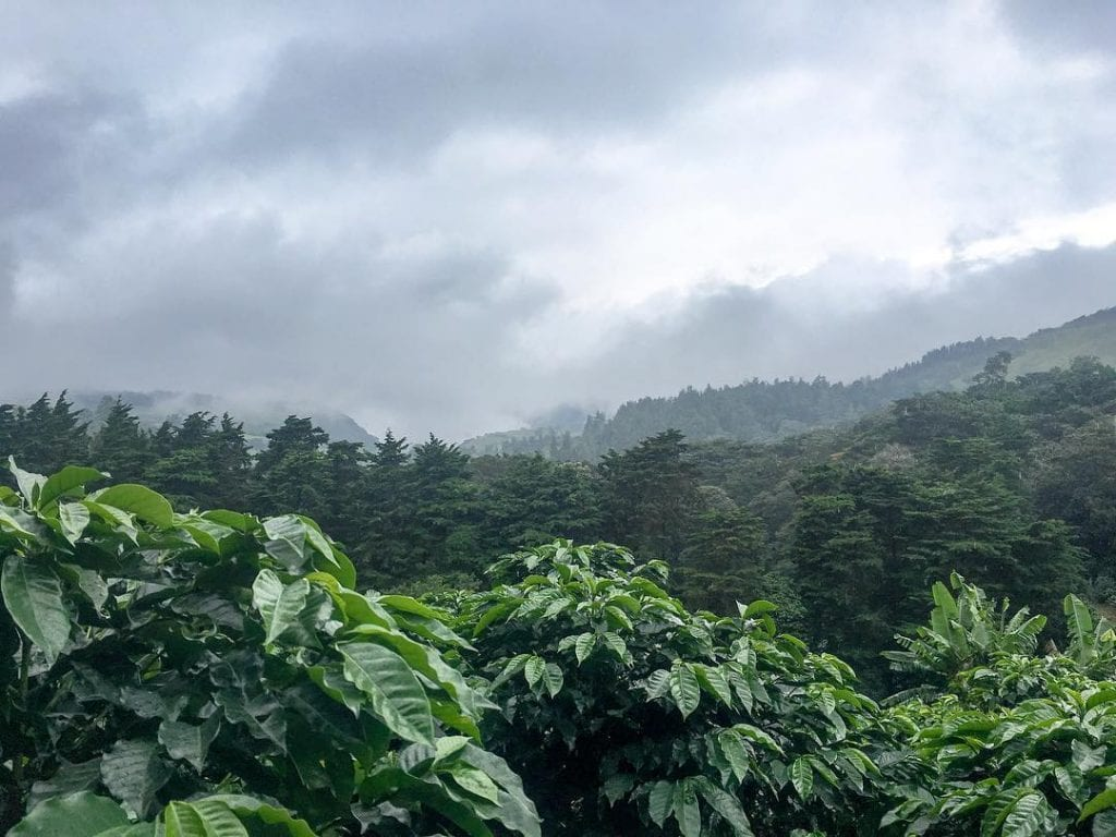 Coffee plantations in the cloud forest, photo credit laurensouch.