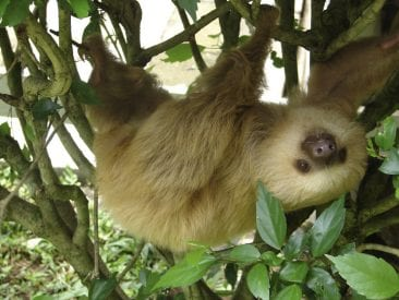 Sloths: Lazy cuties you can spot in Monteverde