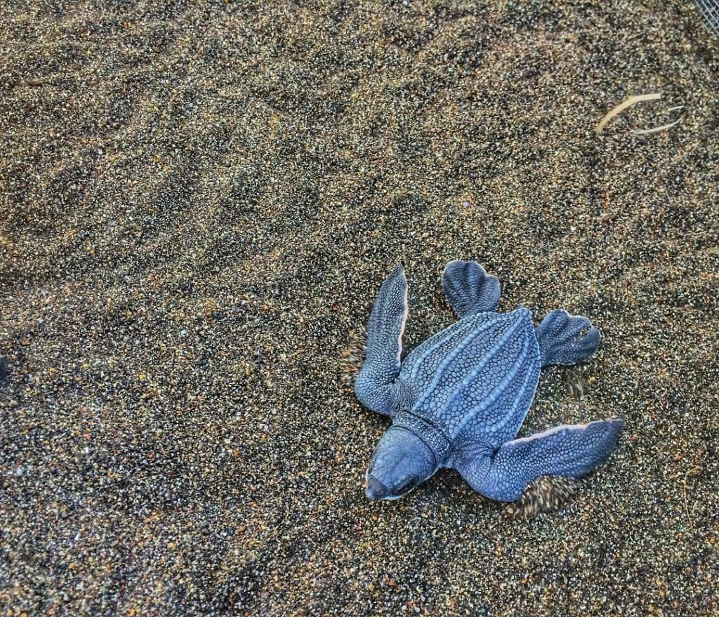 Baby leatherback, photo credit melissaleia