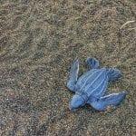 Baby leatherback, photo credit melissaleia