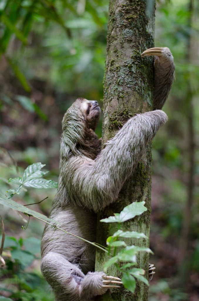 Three fingered sloth climbing tree, photo credit unsplash.