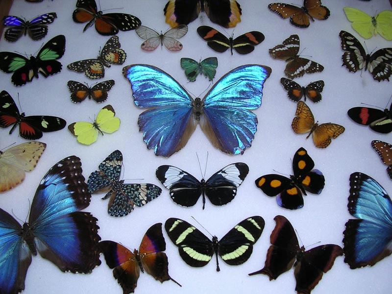 Butterflies at Veragua Rainforest in Costa Rica Caribbean