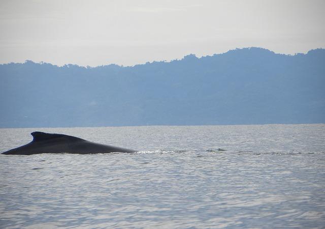 Humpback whale in Golfo Dulce Costa Rica