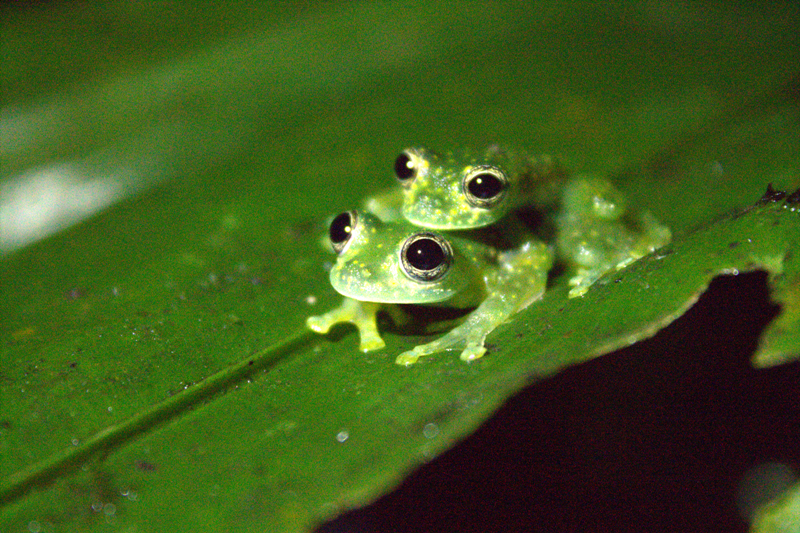 Veragua Rainforest Talamanca glass frogs