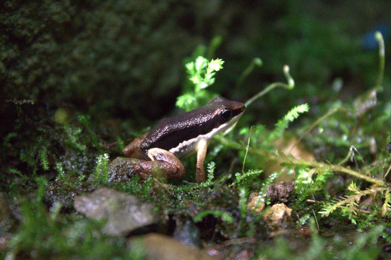 Veragua Rainforest frog Costa Rica