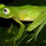 Frog Diane's bare-hearted glass frog (Hyalinobatrachium-dianae), image by Brian Kubicki