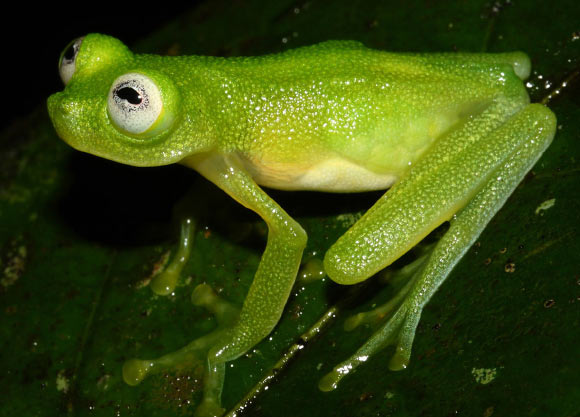 Frog Diane's bare-hearted glass frog (Hyalinobatrachium-dianae), image by Brian Kubicki