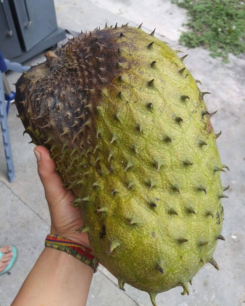 Guanabana, tropical fruit found in Costa Rica. Photo credit @yessier