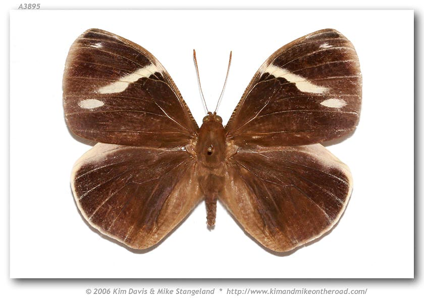 Butterfly Dynastor macrosiris strix, image courtesy of Butterflies of America