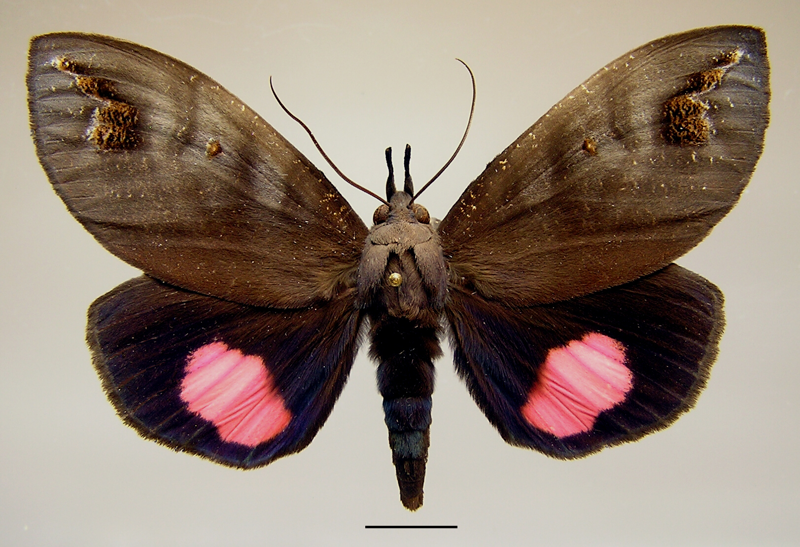 Butterfly Tetrisia florigera