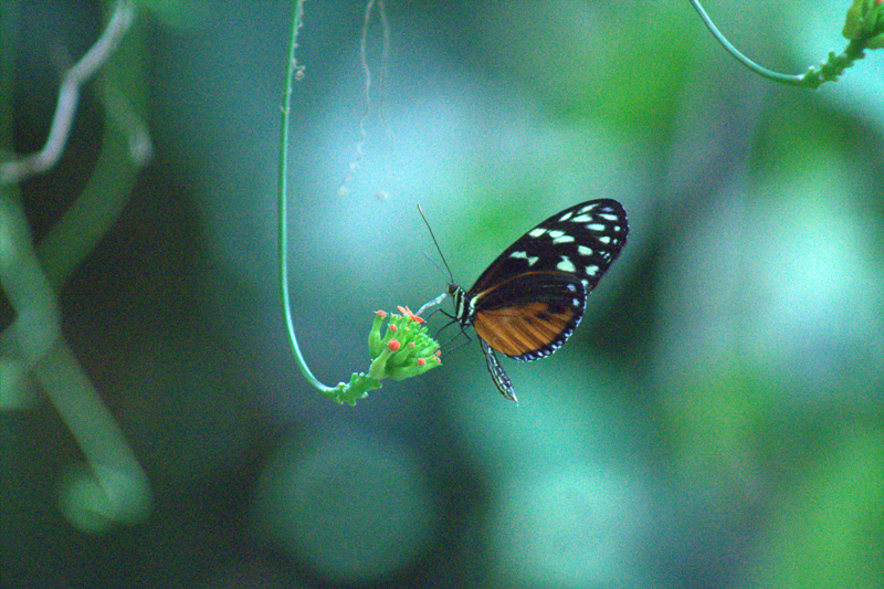 Butterfly species in costa rica