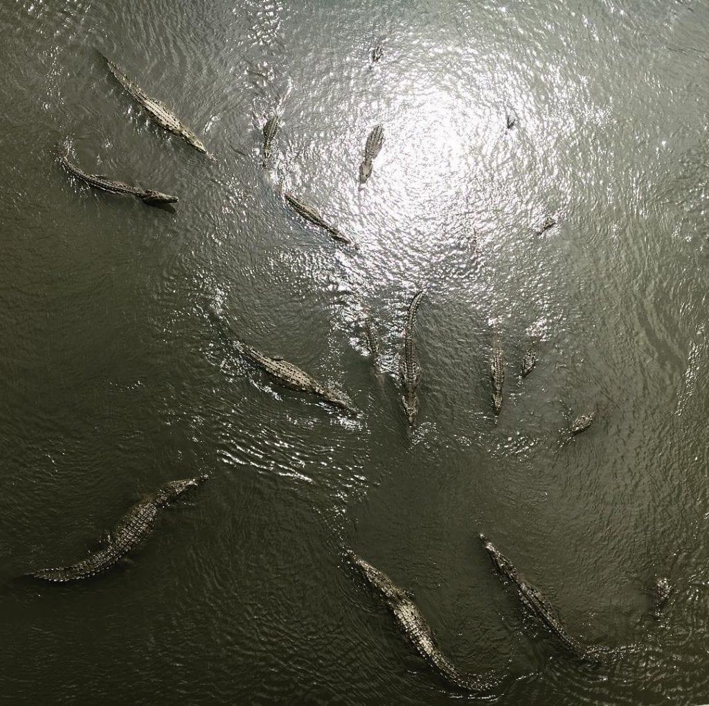 Cocodrilos en el Río Tárcoles, foto por @fbrzglrs.