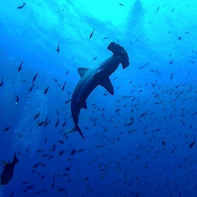 Hammerhead shark at Cocos Island photo credit @theyellowpassportblog.