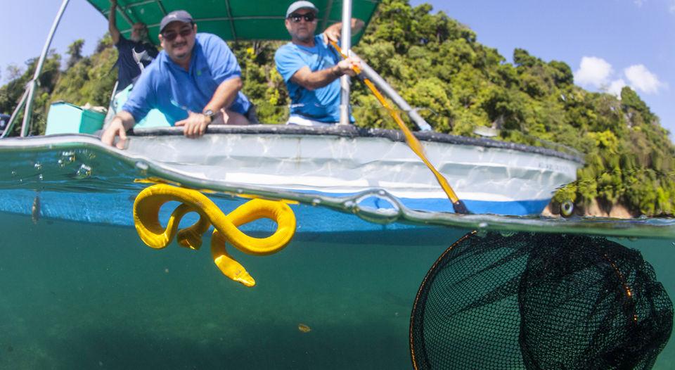 Sea snake Golfo Dulce costa rica