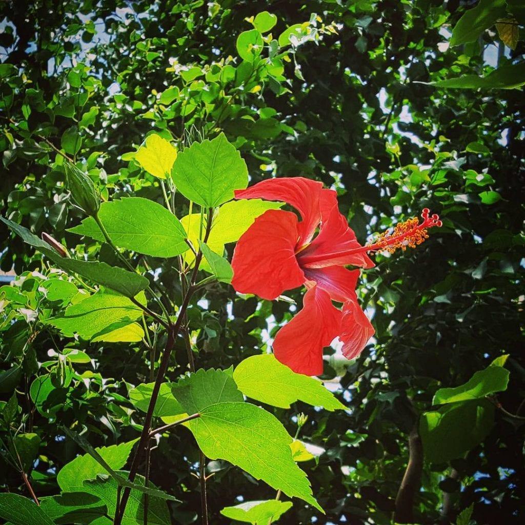 Arbusto de Amapola, foto por #loris_dream.