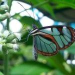 Butterfly Veragua Rainforest