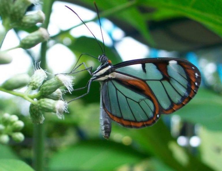 New Species of Butterflies in Costa Rica Discovered in Veragua Rainforest
