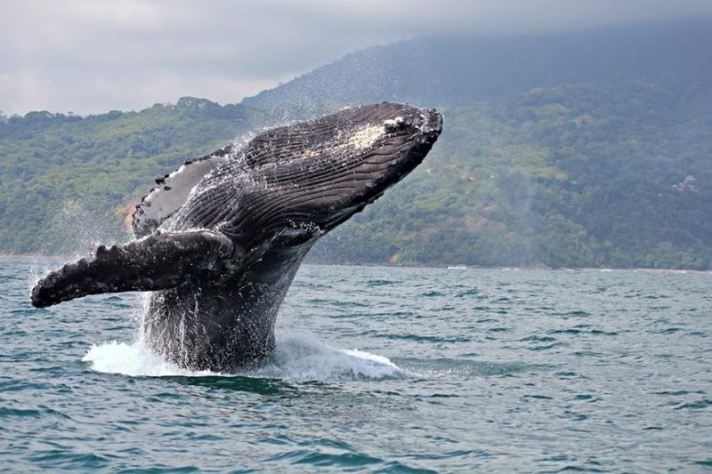 Whale watching in Ballena Marine National Park