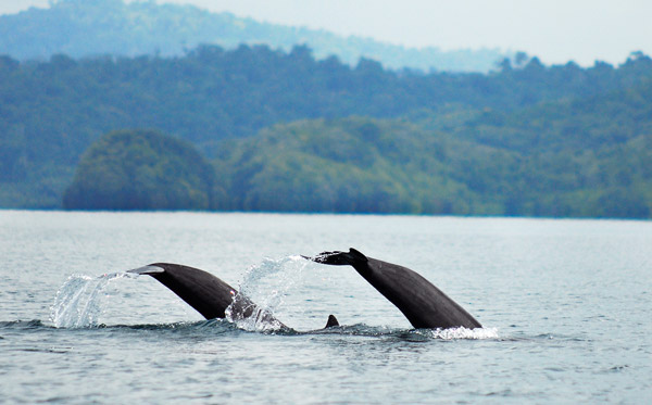 Dolphins in Golfo Dulce Costa Rica