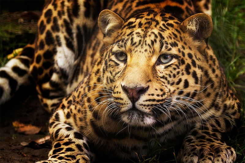 Jaguar, image by Denis Van Linden