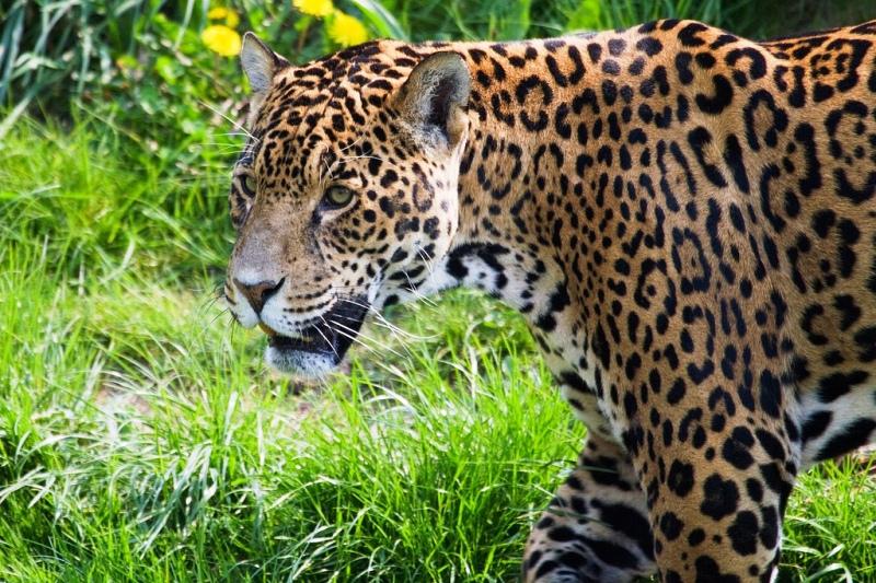 Jaguar, image by John Rawnsley