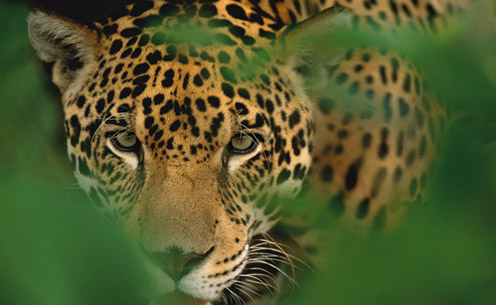 Osa Peninsula is Key Site for Jaguar Conservation in Costa Rica